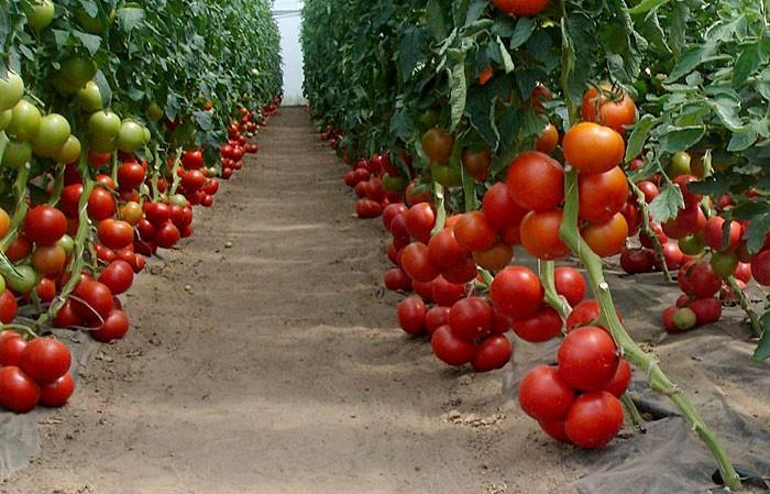 Томат Бобкат F1: характеристика и описание сорта, видео и фото куста помидоров и его высота, отзывы о выращивании голландских семян и урожайности