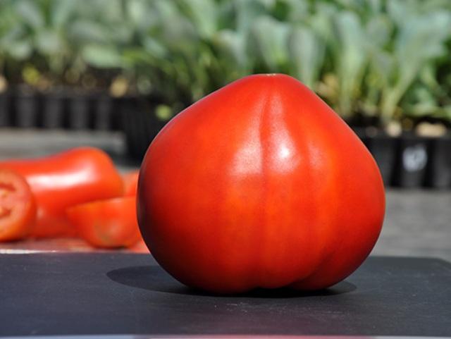 Томат сват f1 описание и характеристика сорта урожайность с фото