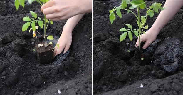 Томат Алтайский шедевр - описание сорта, характеристика, урожайность, отзывы, фото