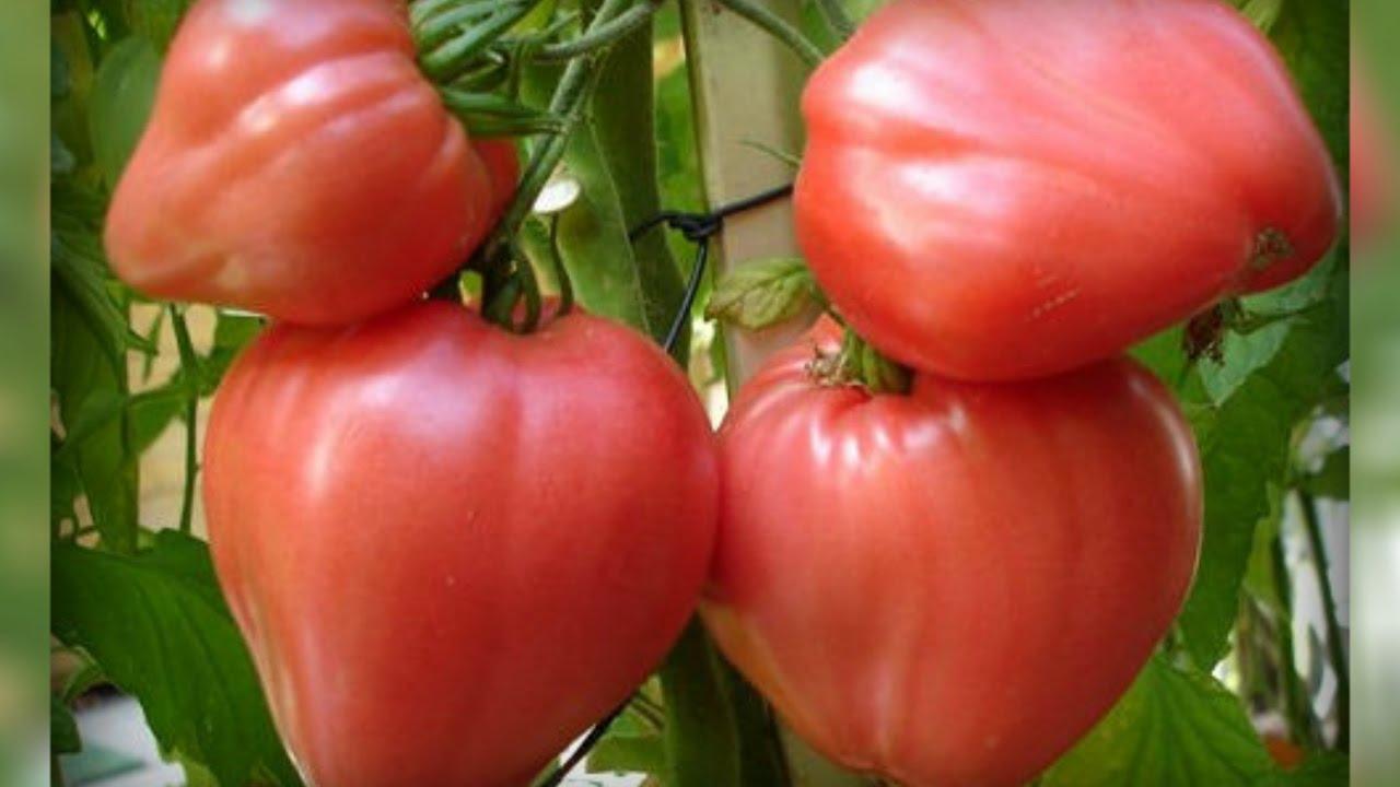 Томат Бычье сердце - описание сорта, характеристика, урожайность, отзывы, фото