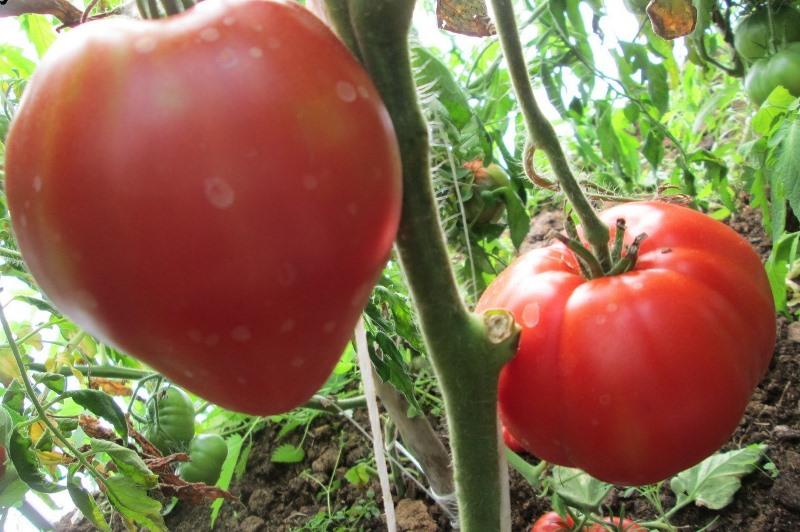 """Томат """"Батяня"""": характеристика и описание сорта помидор с фото"""