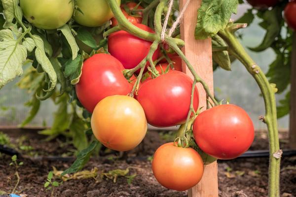 Томат ядвига характеристика и описание сорта выращивание с фото